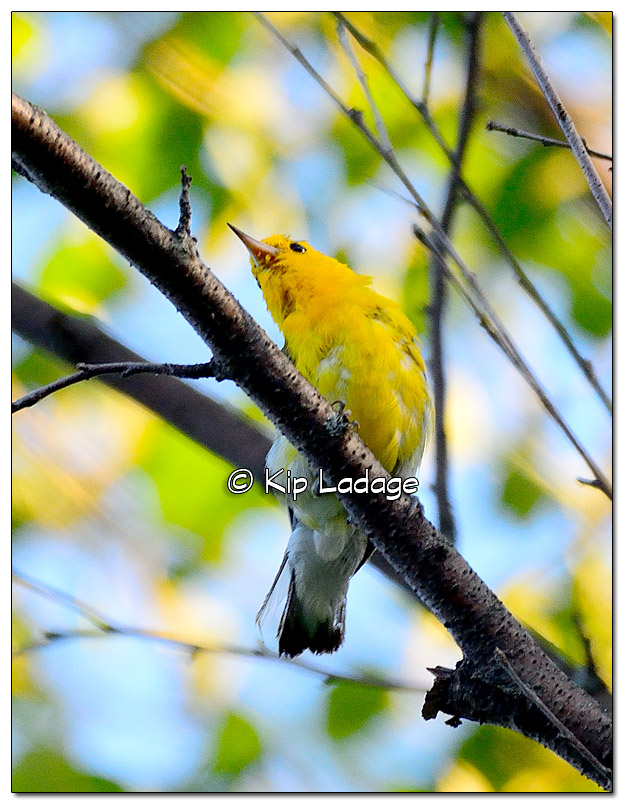 prothonotary-warbler-on-wapsipinicon-river-331224