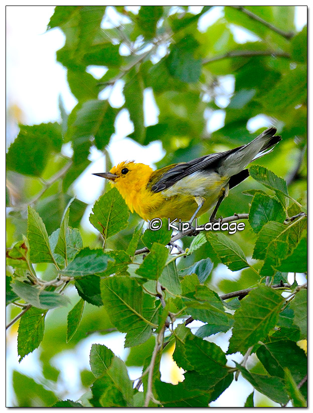 prothonotary-warbler-on-wapsipinicon-river-331230