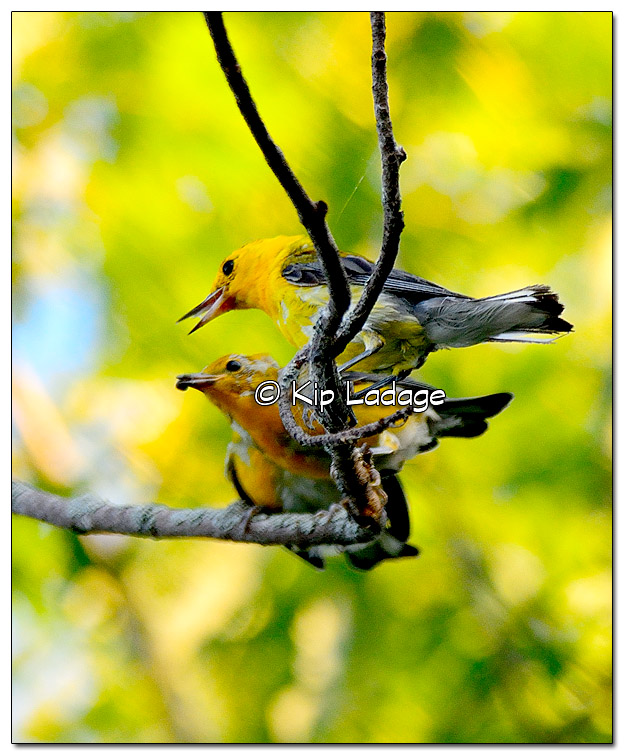 prothonotary-warbler-on-wapsipinicon-river-331242