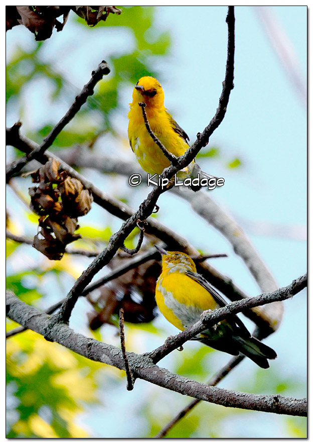 prothonotary-warbler-on-wapsipinicon-river-331257