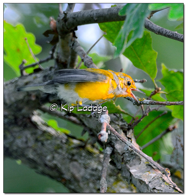 prothonotary-warbler-on-wapsipinicon-river-331267