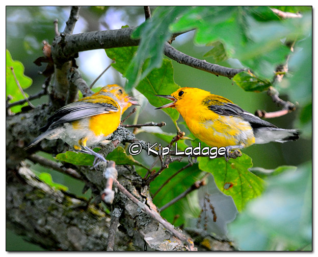 prothonotary-warbler-on-wapsipinicon-river-331275