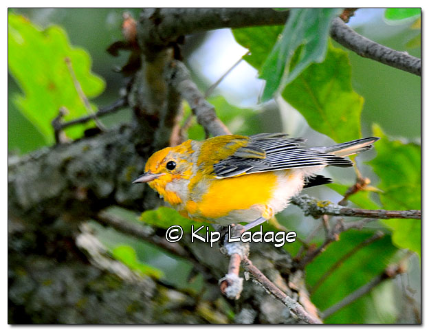 prothonotary-warbler-on-wapsipinicon-river-331282