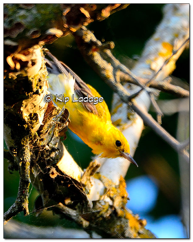 prothonotary-warbler-on-wapsipinicon-river-331287