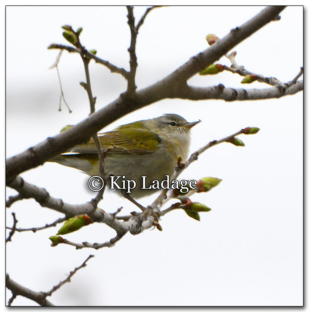 tennessee-warbler-253386