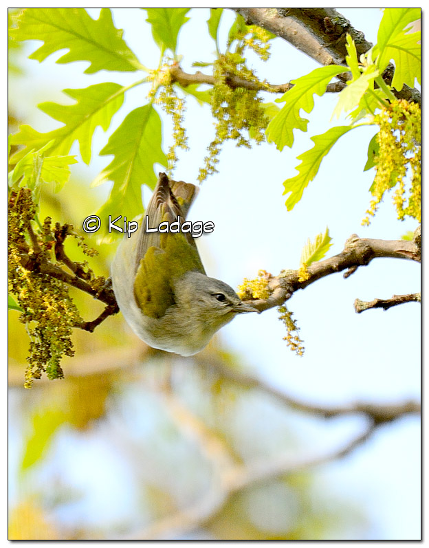 tennessee-warbler-379235