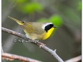 Common Yellowthroat at Sweet Marsh (504123)
