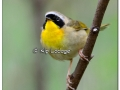 Common Yellowthroat at Sweet Marsh (504137)