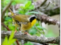 Common Yellowthroat at Sweet Marsh (504146)