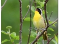 Common Yellowthroat at Sweet Marsh (570696)