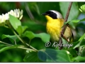 Common Yellowthroat at Sweet Marsh (573523)