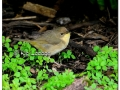 Female Common Yellowthroat (506696)