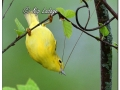 Female Yellow Warbler (636114)