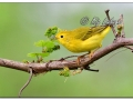 Female Yellow Warbler (636143)