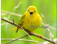 Yellow Warbler at Sweet Marsh (505521)