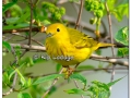 Yellow Warbler at Sweet Marsh (505559)