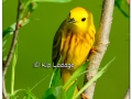 Yellow Warbler at Sweet Marsh (505577)