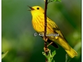 Yellow Warbler at Sweet Marsh (505614)