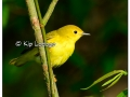 Yellow Warbler at Sweet Marsh (505659)