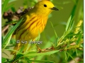 Yellow Warbler at Sweet Marsh (505671)