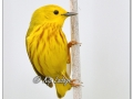 Yellow Warbler at Sweet Marsh (570803)
