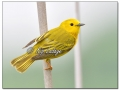 Yellow Warbler at Sweet Marsh (570816)