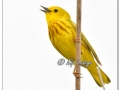 Yellow Warbler at Sweet Marsh (570827)