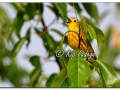 Yellow Warbler at Sweet Marsh (573771)