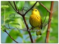 Yellow Warbler at Sweet Marsh (573801)