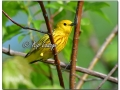 Yellow Warbler at Sweet Marsh (573820)