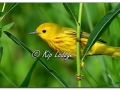 Yellow Warbler at Sweet Marsh (573845)