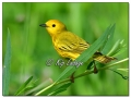 Yellow Warbler at Sweet Marsh (573854)