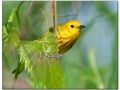 Yellow Warbler at Sweet Marsh (573864)