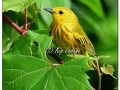 Yellow Warbler at Sweet Marsh (577005)