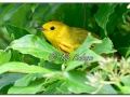 Yellow Warbler at Sweet Marsh (577021)