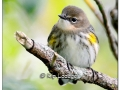 Yellow-rumped Warbler in Fall Plumage at Casey Lake (525133)