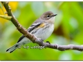 Yellow-rumped Warbler in Fall Plumage at Casey Lake (525205)