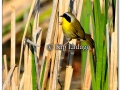 common-yellowthroat-256886