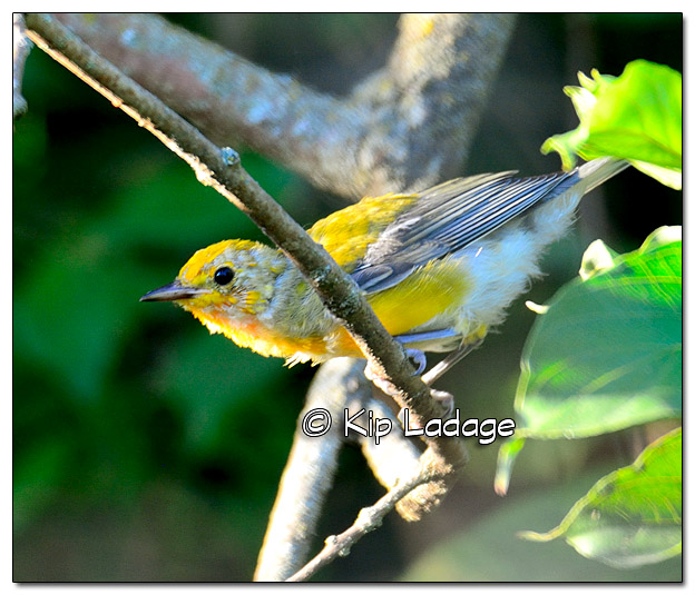 unknown-juvenile-warbler-331098