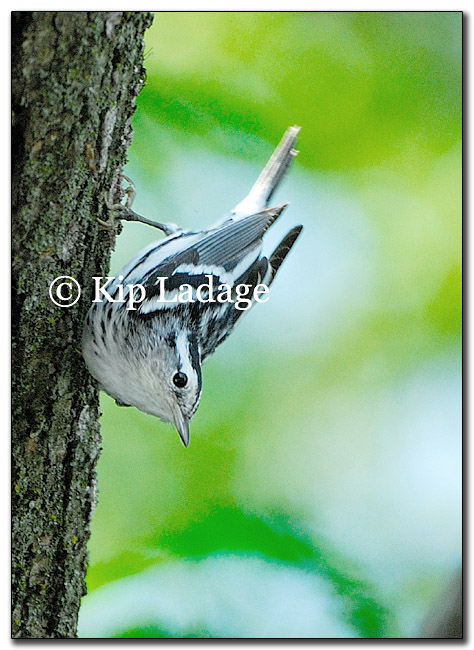 warbler-black-and-white-175622