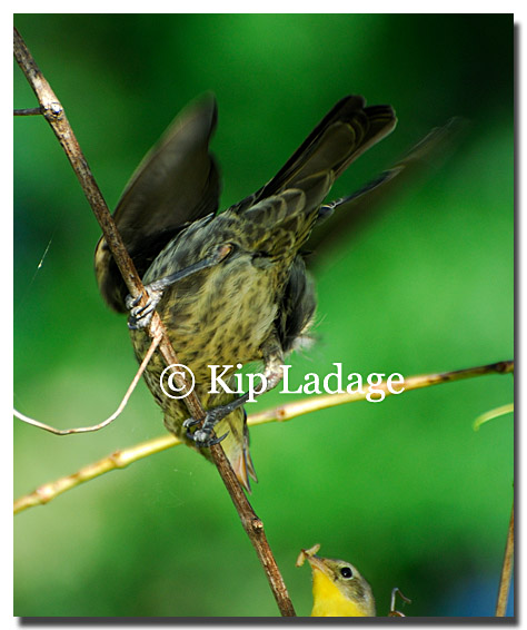 warbler-yellow-feeding-bh-cowbird-88000