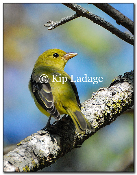 warbler-yellow-female-possible-178029