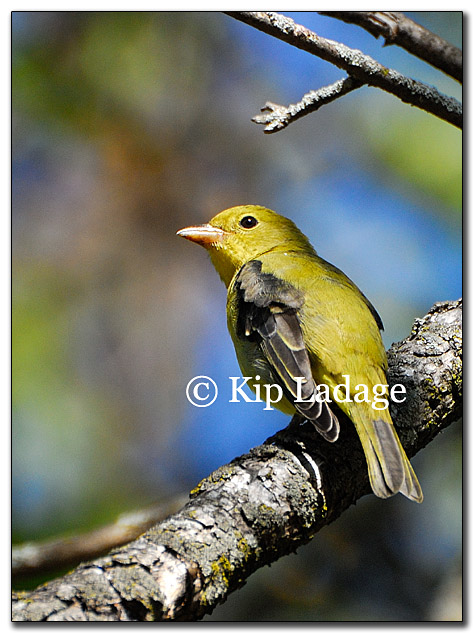 warbler-yellow-female-possible-178082