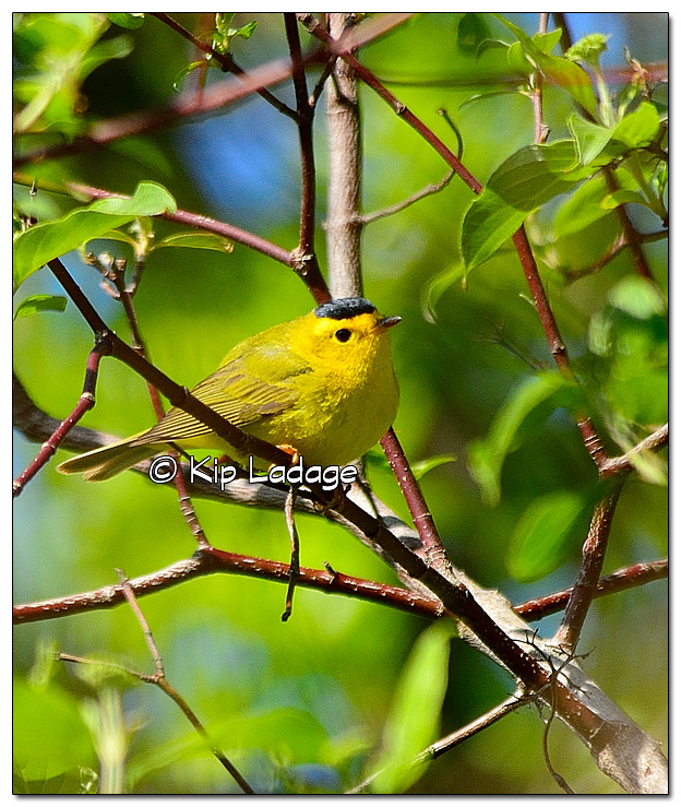 wilsons-warbler-on-wapsipinicon-river-379717
