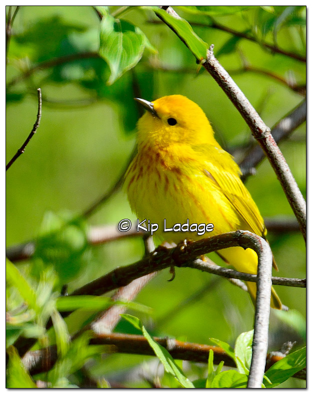 yellow-warbler-on-wapsipinicon-river-379700