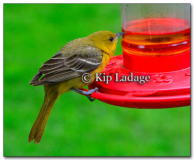 yellow-warbler-possible-first-year-256868