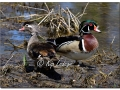 Drake and Hen Wood Duck (563683)