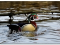 Male Wood Duck in Timber (554705)
