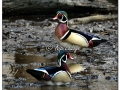 Male Wood Duck in Timber (554748)