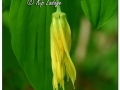 Wild Oats (Sessile Bellwort) (628613)